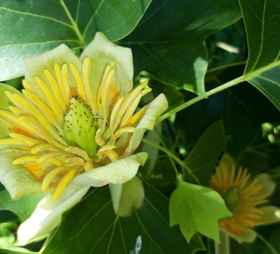 echte-tulpenboom